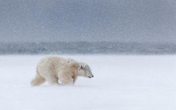 снег, медведь, ветер, метель, белый медведь