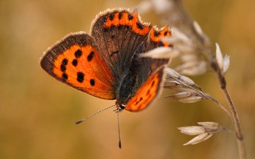 макро, насекомое, бабочка, крылья, растение
