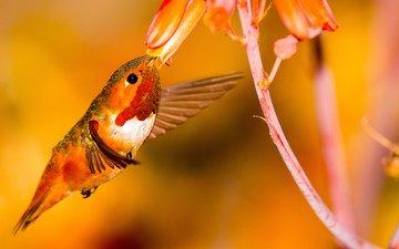 flower, wings, bird, hummingbird