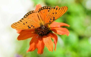макро, цветок, бабочка, крылья, насекомые, растение