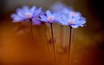 цветы, макро, весна, синие, анемоны, anemone hepatica, печеночники