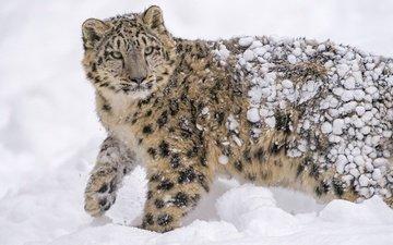 морда, снег, пятна, хищник, снежный барс, мех, ирбис, барс, дикая кошка, молодой, снежный леопард