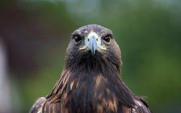 орел, птица, клюв, перья, хищная