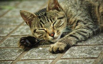 кот, кошка, лежит, лапки, полосатый