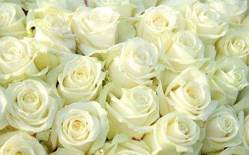 цветы, розы, белые