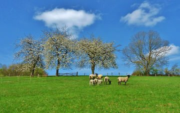 деревья, природа, пейзаж, поле, луг, пастбище, овцы