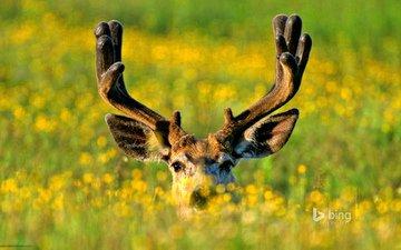 flowers, grass, deer, meadow, horns