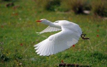 flight, wings, bird, white, heron, ziva & amir