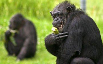 трава, обезьяна, банан, шимпанзе