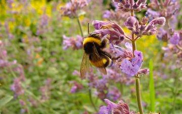 цветы, макро, насекомое, пчела, шмель