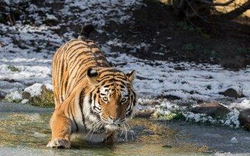 тигр, морда, вода, снег, зима, лёд, водоем, хищник, холод, лапа, дикая кошка, амурский тигр