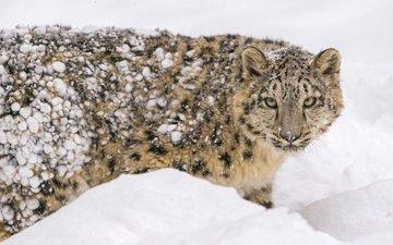 морда, снег, зима, пятна, хищник, снежный барс, мех, ирбис, зоопарк, дикая кошка, молодой, детеныш, снежный леопард