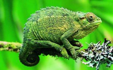 ящерица, хамелеон, рептилия