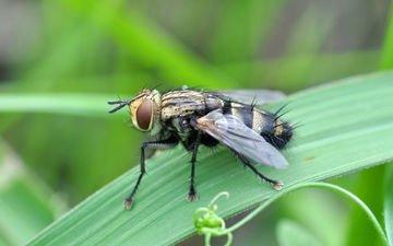 глаза, трава, насекомое, крылья, муха