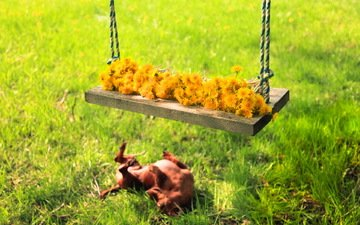 flowers, grass, summer, dog, swing