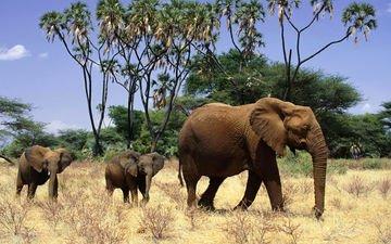 слон, африка, семья, слоны, детеныши, слонята