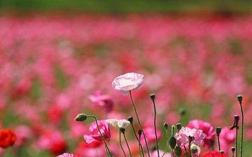 цветы, поле, лепестки, маки, луг