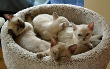 cats, kittens, faces, tonkinese
