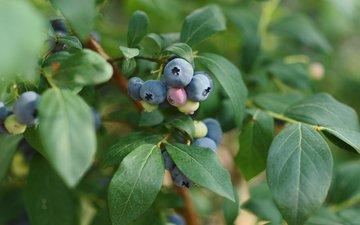 листья, ветки, ягоды, лесные ягоды, черника, кустарник, голубика, ветками, листья