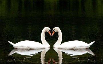 вода, озеро, отражение, сердце, птицы, любовь, романтично, два, лебеди, вместе, белые лебеди