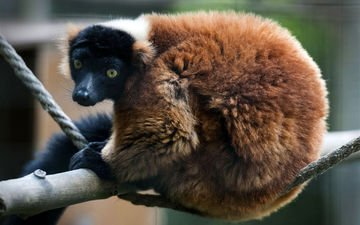 лемур, примат, рыжий вари