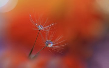 nature, rosa, drops, fluff, blade of grass
