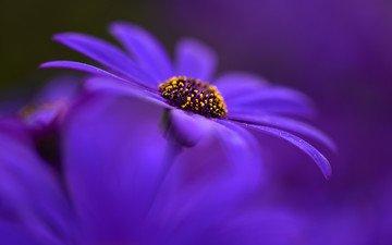 природа, цветок, лепестки, краски, гербера