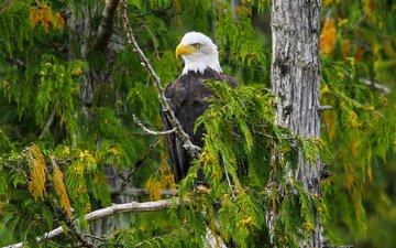 дерево, лес, ветки, орел, птица, белоголовый орлан