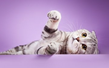 кот, кошка, лапки, шотландская, вислоухая