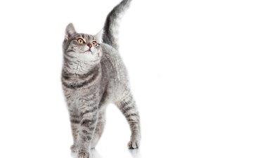 фон, кот, белый, серый, полосатый