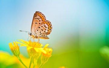 цветы, природа, макро, насекомое, бабочка, крылья