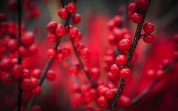 природа, макро, ветки, осень, красные, ягоды, плоды