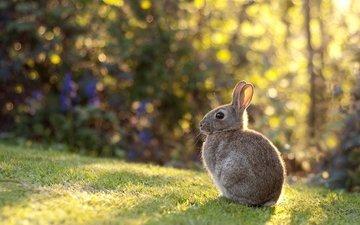 свет, трава, луг, кролик, уши, малыш, газон