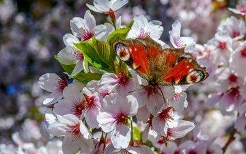 дерево, цветение, насекомое, бабочка, крылья, весна
