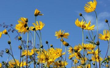 небо, цветы, природа, лепестки, стебли, топинамбур