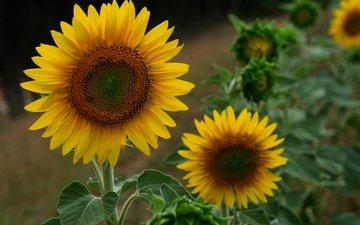 цветы, листья, лепестки, подсолнухи, желтые, mariluz rodriguez