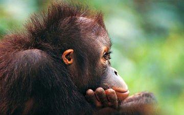 мордочка, шерсть, профиль, обезьяна, детеныш, глазки, орангутан