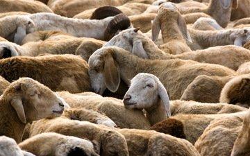 природа, овцы, стадо, овца
