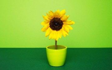 желтый, зелёный, фон, цветок, лепестки, подсолнух, горшок