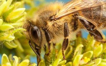 цветы, насекомое, лепестки, пчела, боке