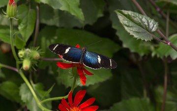 листья, насекомое, цветок, бабочка, крылья, растение