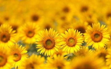 цветы, поле, лепестки, размытость, подсолнухи, желтые