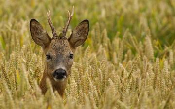 олень, поле, взгляд, пшеница, рога, косуля