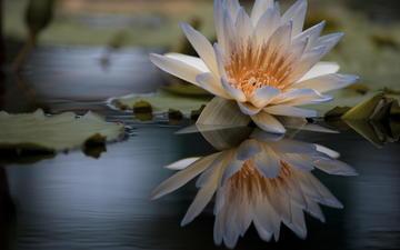 вода, отражение, цветок, лилия, кувшинка, нимфея, водяная лилия