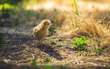 трава, птенец, земля, птица, цыплёнок, солома, солнечные лучи, курица