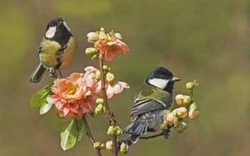 flowers, branch, buds, wings, birds, beak, spring, pair, feathers, tits
