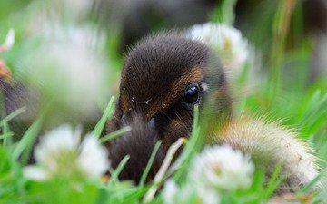 цветы, трава, птенец, птица, утка, утенок