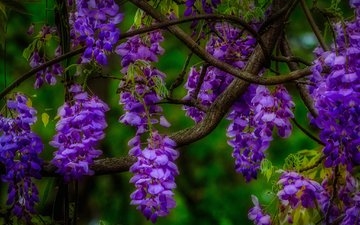 цветы, природа, макро, ветки, соцветия, глициния, вистерия