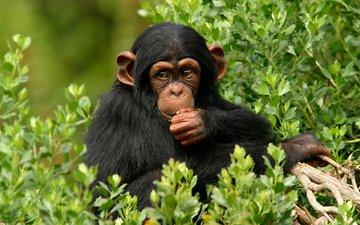 дерево, листья, обезьяна, примат, шимпанзе