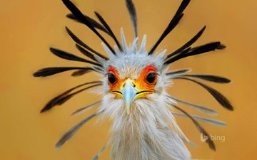 глаза, птица, клюв, перья, птица-секретарь
